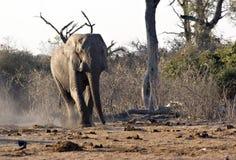Éléphant africain dans Savute Image libre de droits