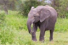 Éléphant africain de bébé dans le Serengeti Photos stock