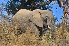 Éléphant africain de buisson (africana de Loxodonta) Photo stock