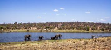 Éléphant africain de buisson en parc national de Kruger, Afrique du Sud Image stock