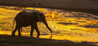 Éléphant africain de buisson en parc national de Kruger, Afrique du Sud photographie stock
