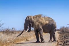 Éléphant africain de buisson en parc national de Kruger, Afrique du Sud images libres de droits