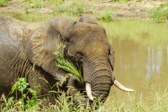 Éléphant africain de buisson se tenant dans la rive, la savane Image libre de droits