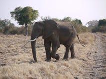Éléphant africain de Bush Photo stock