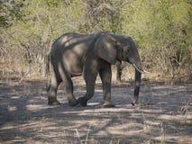 Éléphant africain de Bush Image libre de droits