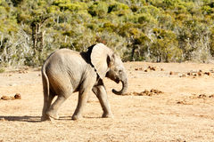 Éléphant africain de Bush images libres de droits