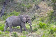 Éléphant africain de Bush (africana de Loxodonta) Image stock