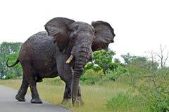 Éléphant africain de Bush (africana de Loxodonta) Images libres de droits