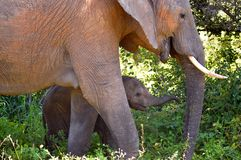 Éléphant africain de Bush (africana de Loxodonta) Photos libres de droits