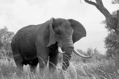 Éléphant africain de Bush (africana de Loxodonta) Photo stock