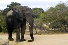 Éléphant africain de Bush (africana de Loxodonta) Image libre de droits