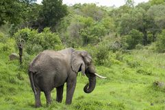Éléphant africain de Bush (africana de Loxodonta) images stock