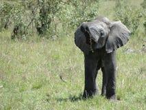 Éléphant africain de chéri Photo libre de droits