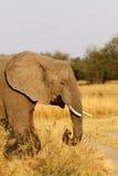 Éléphant africain de chef de famille menant la manière Photographie stock libre de droits