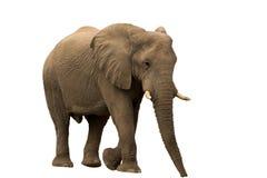 Éléphant africain de désert d'isolement sur le fond blanc Image stock