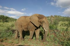 Éléphant africain en Afrique du Sud image stock
