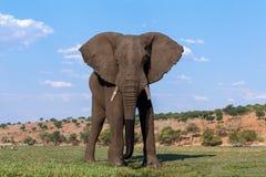 Éléphant africain en parc national de Chobe Photographie stock
