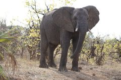 Éléphant africain en parc national de kruger photo stock