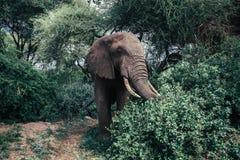 Éléphant africain en parc national de Tarangire Photo stock