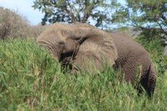 Éléphant africain en roseaux de rivière Photos stock
