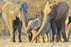 Éléphant, Africain - fond de faune d'Afrique - trois générations ensemble Photo stock