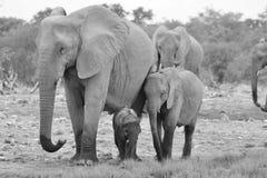 Éléphant africain - fond de faune - famille de la vie et de l'amour Photos libres de droits
