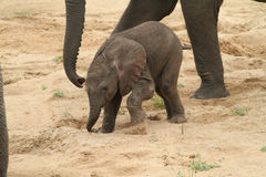Éléphant africain (Loxodonta Africana) Photographie stock