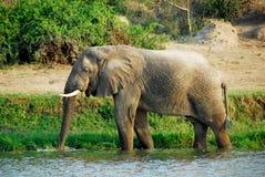 Éléphant africain mâle, la Manche de Kazinga, Ouganda images libres de droits