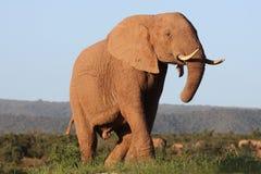 Éléphant africain majestueux Image libre de droits