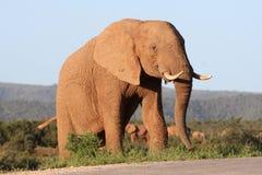 Éléphant africain majestueux Photo libre de droits