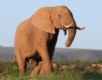 Éléphant africain majestueux Photographie stock libre de droits