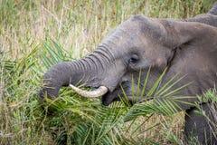Éléphant africain mangeant dans le Kruger photo stock