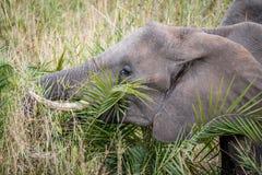 Éléphant africain mangeant dans le Kruger image stock