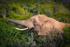 Éléphant africain mangeant dans les buissons étroits vers le haut de la vue en Addo National Park photos libres de droits