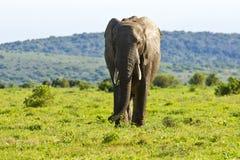 Éléphant africain mangeant l'herbe Photographie stock libre de droits
