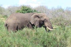 Éléphant africain mangeant l'herbe Photo libre de droits