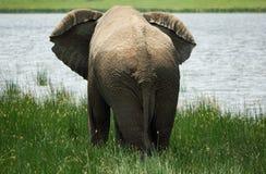 Éléphant africain par derrière devant le lac photographie stock libre de droits