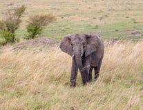 Éléphant africain sauvage Images stock