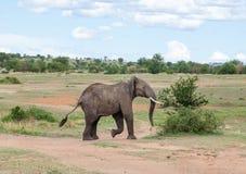 Éléphant africain sauvage Images libres de droits