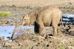 Éléphant africain sauvage Image stock