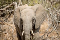 Éléphant africain se tenant le premier rôle à la caméra photo stock