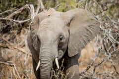 Éléphant africain se tenant le premier rôle à la caméra photographie stock