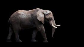 Éléphant africain sur le fond noir Photographie stock libre de droits