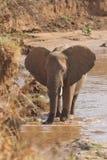 Éléphant africain sur le riverbank kenyan Images libres de droits