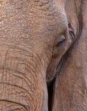 Éléphant africain : visage d'un géant Images libres de droits
