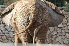 Éléphant africain Vue énorme de queue Photo stock