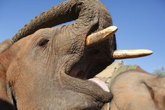Éléphant africain - Zimbabwe Photographie stock