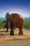 Éléphant (africana de Loxodonta) image libre de droits