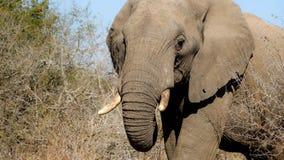 Éléphant Afrique du Sud Photographie stock