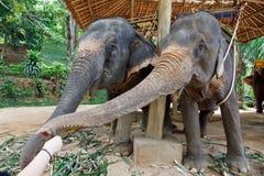 Éléphant alimentant Photos stock